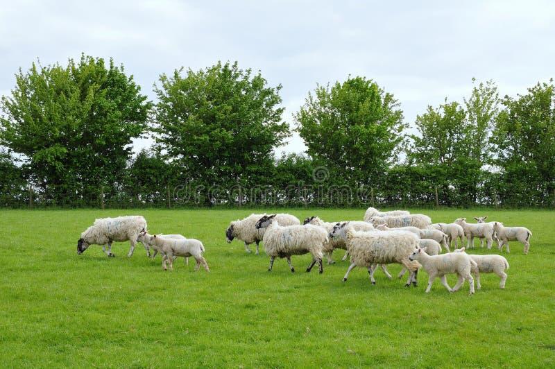 Multitud de ovejas y de corderos imagenes de archivo