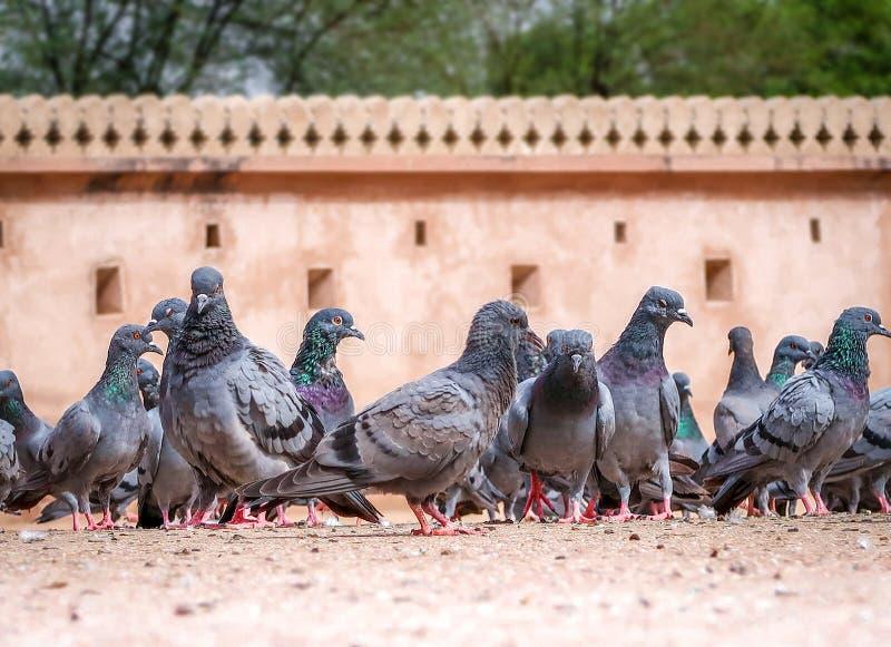 Multitud de palomas en la tierra imagenes de archivo