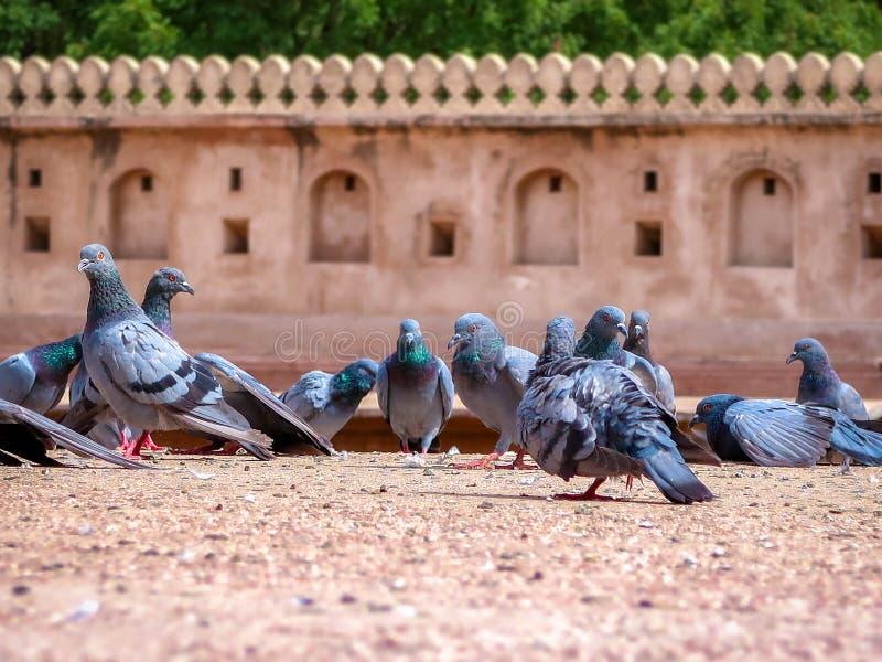 Multitud de palomas en la tierra fotos de archivo libres de regalías