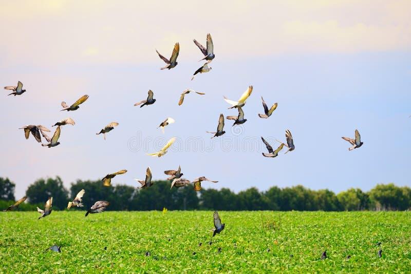 Multitud de palomas salvajes en una puesta del sol imagen de archivo