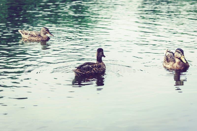 Multitud de patos en un lago en un parque foto de archivo