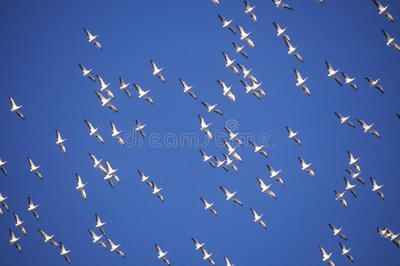 Multitud de pelícanos en vuelo sobre Pensacola, isla FL del golfo imagenes de archivo