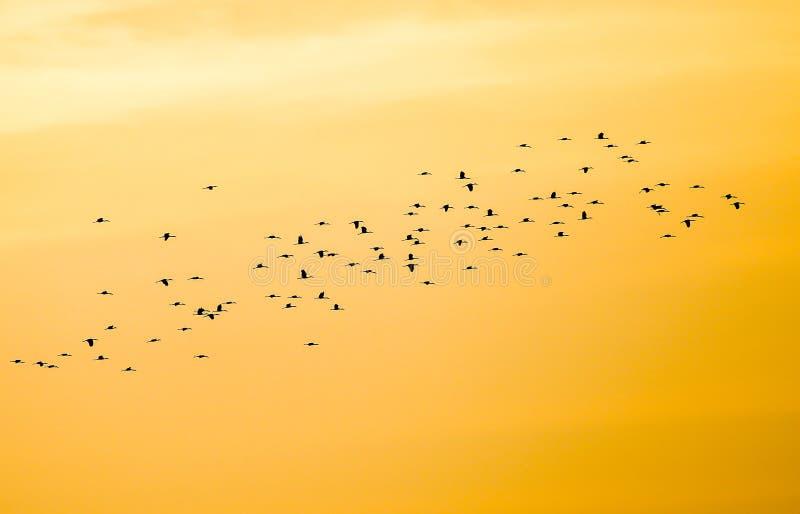 Multitud de volar las grúas comunes y x28; Grus& x29 del Grus; en la formación de V con el cielo del sol poniente en fondo, pájar imágenes de archivo libres de regalías