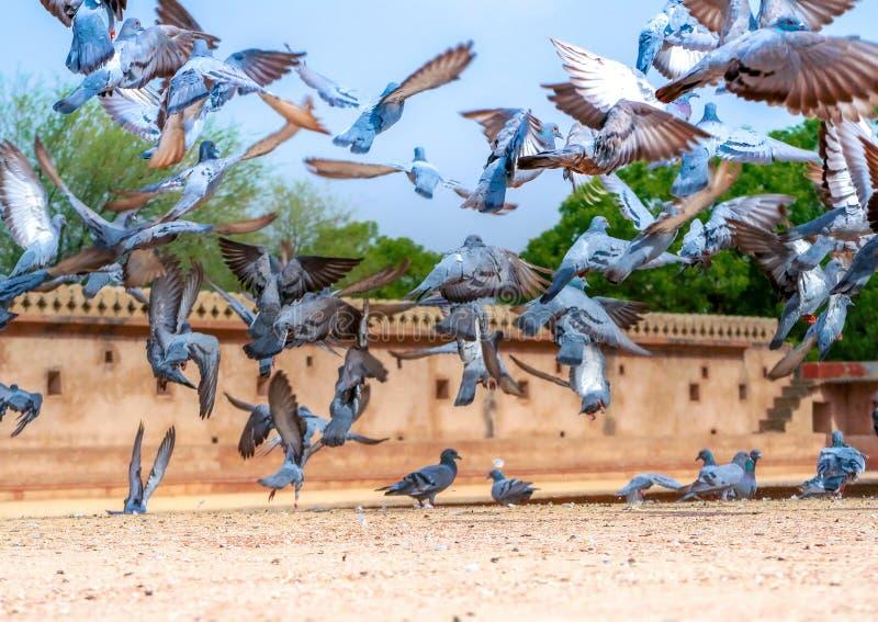 Multitud de volar de las palomas fotografía de archivo libre de regalías