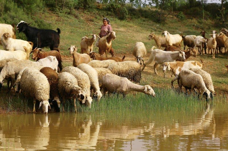 Multitud del agua potable de las ovejas imágenes de archivo libres de regalías