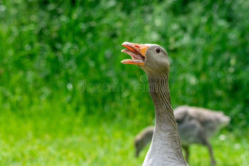 Multitud del anser del anser de los gansos de ganso silvestre y de ansarones jovenes imagen de archivo libre de regalías