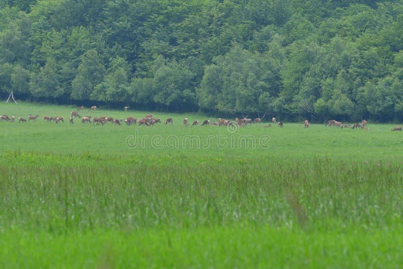 Multitud del macho de los ciervos con la asta creciente que pasta la hierba fotos de archivo libres de regalías