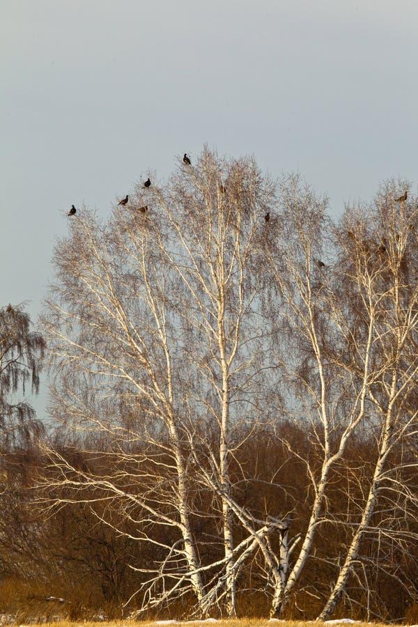 Multitud del urogallo Siberia, Rusia fotografía de archivo libre de regalías