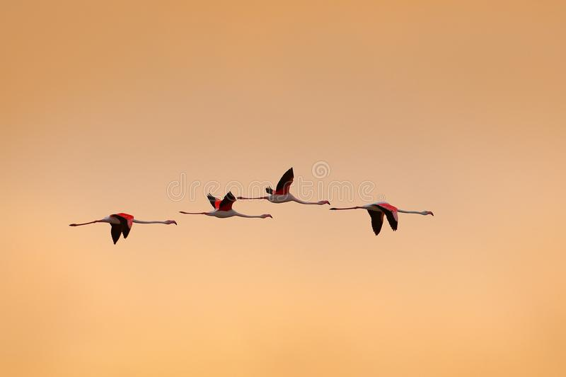 Multitud del vuelo del mayor flamenco del pájaro grande rosado agradable, ruber de Phoenicopterus, con el cielo claro de la mañan fotografía de archivo libre de regalías
