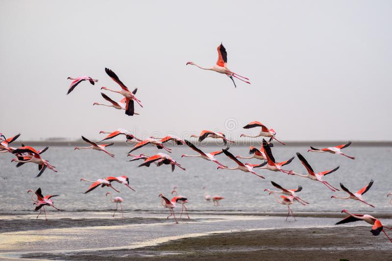 Multitud grande de flamencos rosados en vuelo en la bahía de Walvis, Namibia foto de archivo