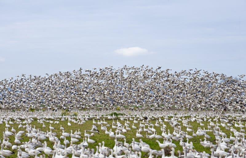 Multitud grande de gansos foto de archivo