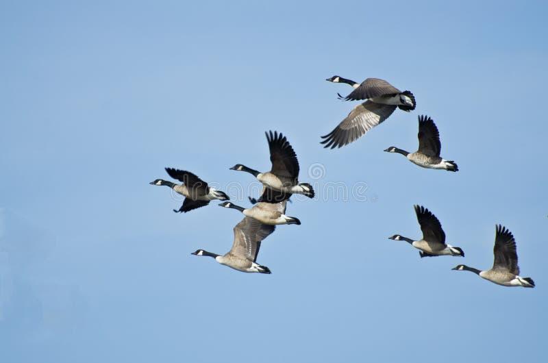 Multitud grande de los gansos que toman vuelo fotos de archivo