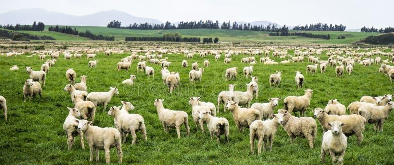 Multitud grande de ovejas nuevamente rapadas imagen de archivo