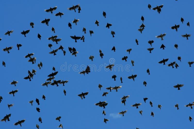 Multitud grande de pájaros starling foto de archivo