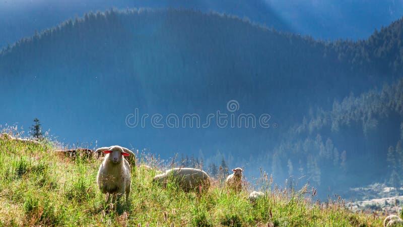 Multitud hermosa de las ovejas que pastan en el amanecer, montañas de Tatra imagen de archivo