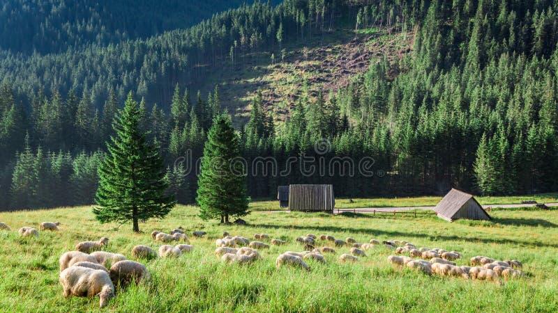 Multitud maravillosa de las ovejas que pastan en la salida del sol, montañas de Tatra imagen de archivo libre de regalías