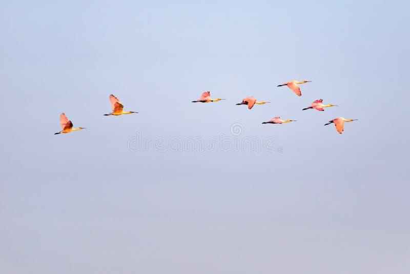 Multitud migratoria de Spoonbills rosados imagen de archivo