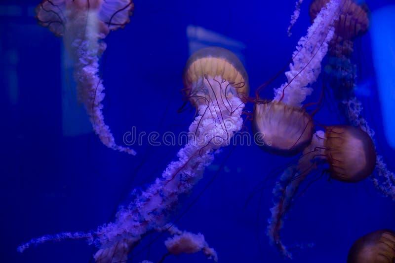 Pink-orange jellyfish in the blue ocean water royalty free stock image