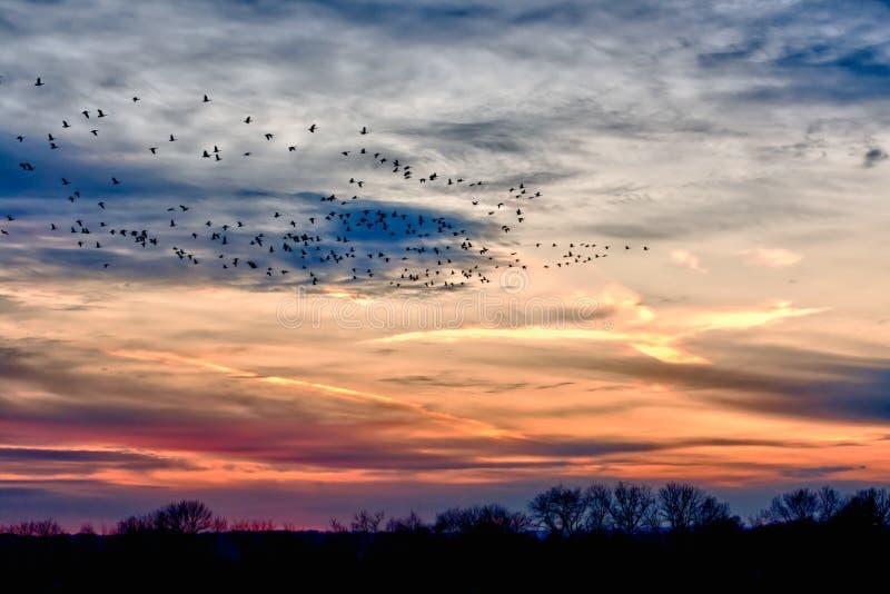 Multitudes de migración de los gansos en la puesta del sol fotografía de archivo libre de regalías