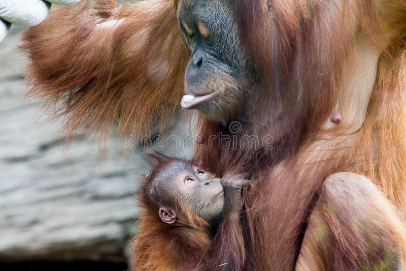 Mum and Baby Orangutan. Sweet Hug stock photo