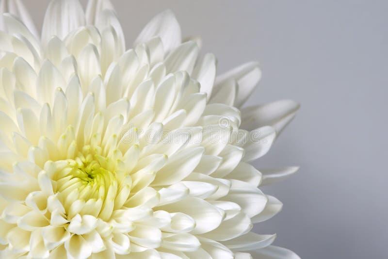 Mum Biały kwiat, Biały kwiat fotografia royalty free