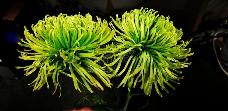 Mum för spindel för krysantemum för Anastasia Mum limefrukt grön royaltyfria bilder