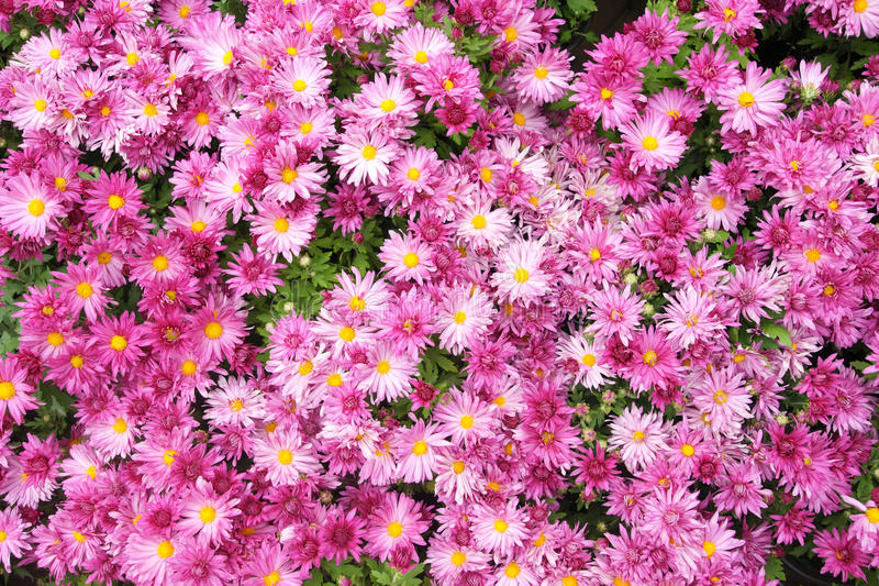 Download Mum flowers stock photo. Image of blossom, flower, vivid - 26661576