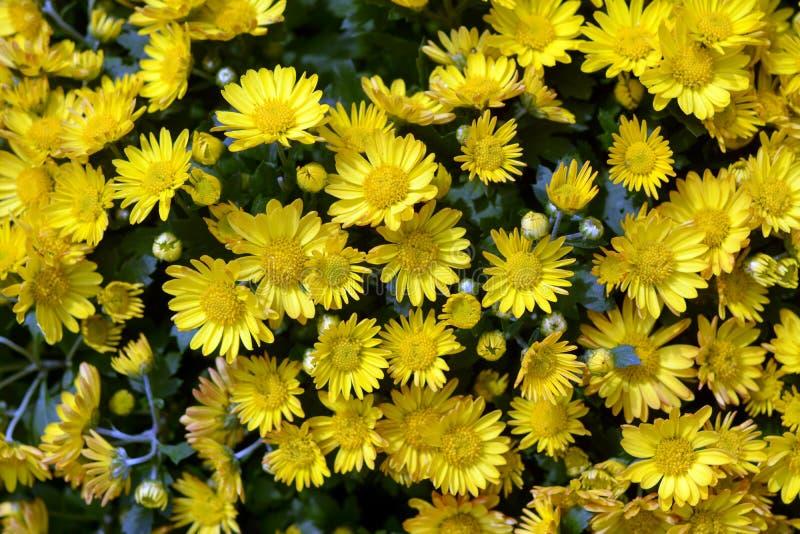 Mum kwiat zdjęcia royalty free