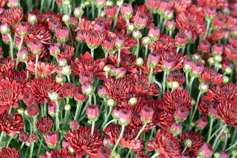 Mum kwiaty obrazy stock