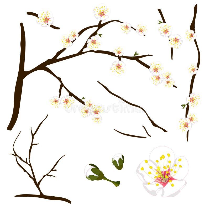 Mume de Prunus - prune chinoise blanche, fleur d'abricot japonais, Plum Blossom Illustration de vecteur D'isolement sur le fond b illustration de vecteur