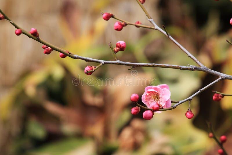 Mumef för ˆArmeniaca för plommonblossomï¼ rubriflora T Y Chenï ¼‰, arkivfoton