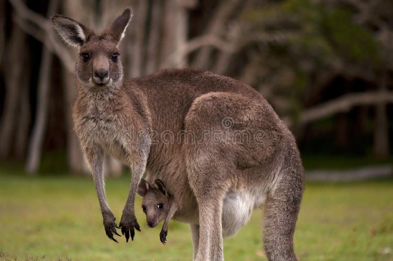 Mummia del canguro con un bambino Joey nel sacchetto fotografia stock