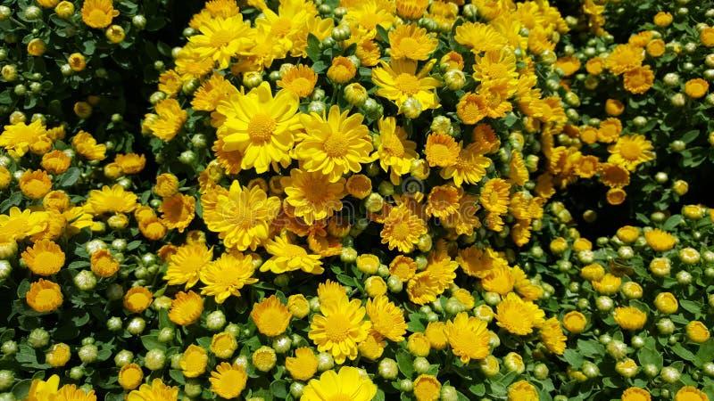 Mummie gialle giardino/di Chrysanths fotografie stock