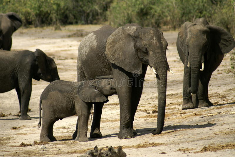 Download Mummy Elephant and Baby stock photo. Image of group, families - 19919492