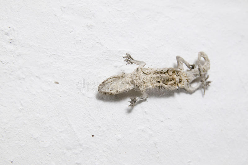 The mummy gecko royalty free stock image
