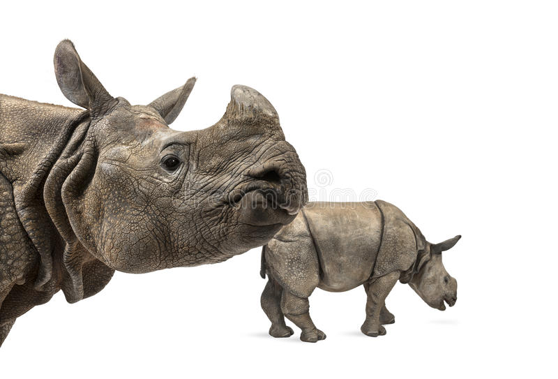 Mummy Indian rhinoceros and her baby. Isolated on white royalty free stock photos