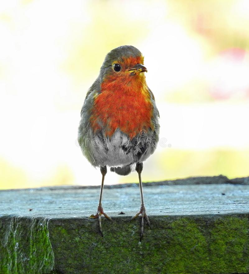 Mummy robin red breast bird with grub in beak for baby royalty free stock photography