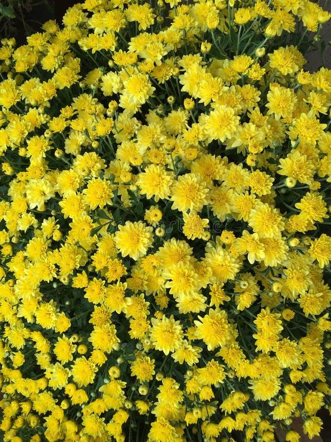 Mums amarelos para o fundo fotografia de stock royalty free