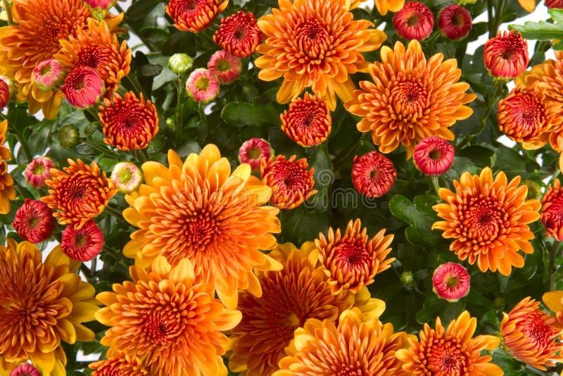 Download Mums background stock photo. Image of plants, orange, petals - 5889224