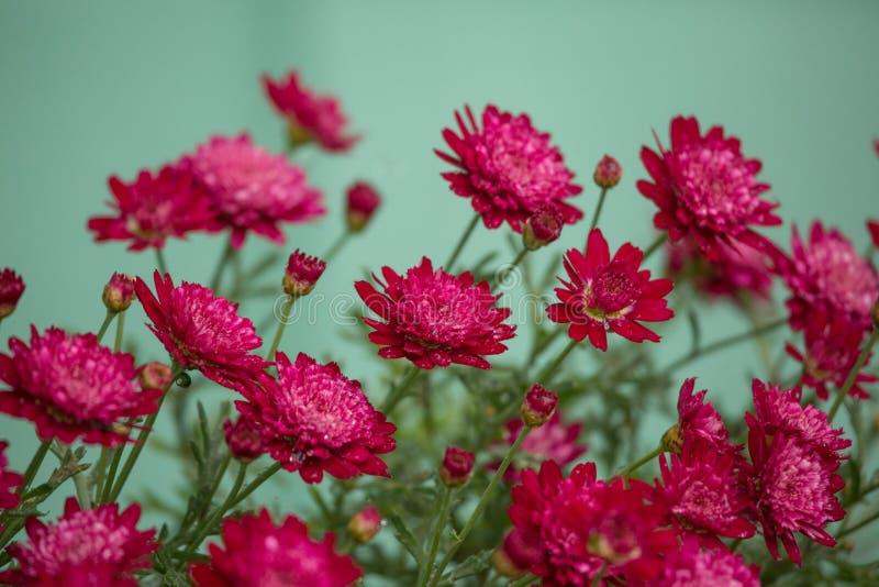 Mums vermelhos bonitos imagens de stock royalty free