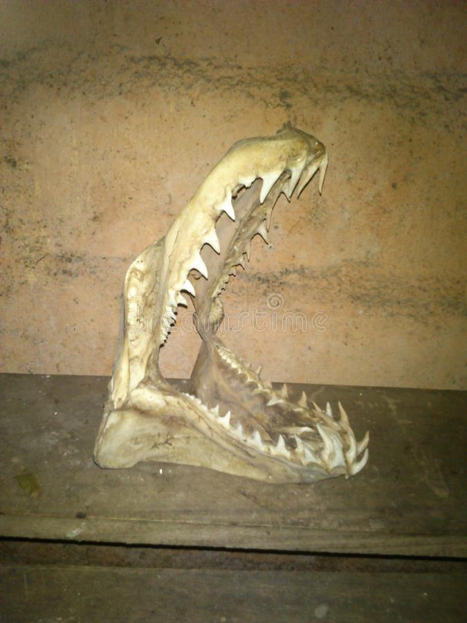 Mun och tänder av hajen royaltyfria foton