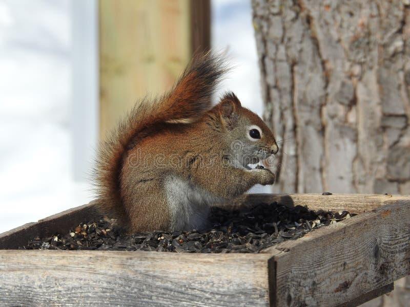 Munchies canadiens d'hiver d'écureuil photos libres de droits