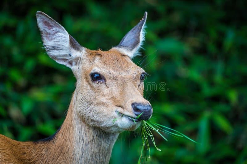 Munching Deer, Shiretoko. A female Ezo shika deer Cervus nippon yesoensis grazes on grass in Shiretoko National Park and World Heritage Site, Hokkaido, Japan royalty free stock photography