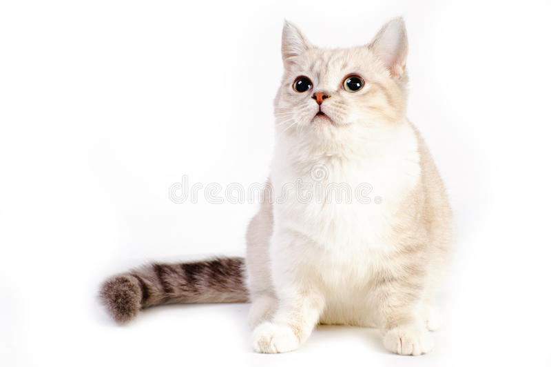 Munchkin cat royalty free stock images