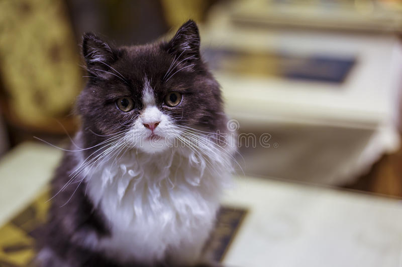 Munchkin cat royalty free stock photography