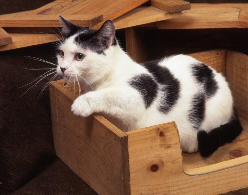 Munchkin cat royalty free stock image