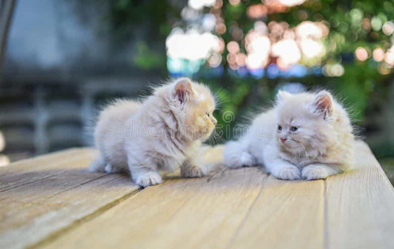 Munchkin jumeau Cat Relaxing In Home photographie stock