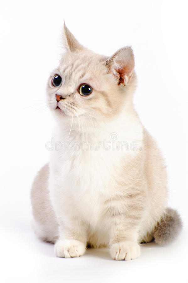 Munchkin-Katze lizenzfreies stockfoto