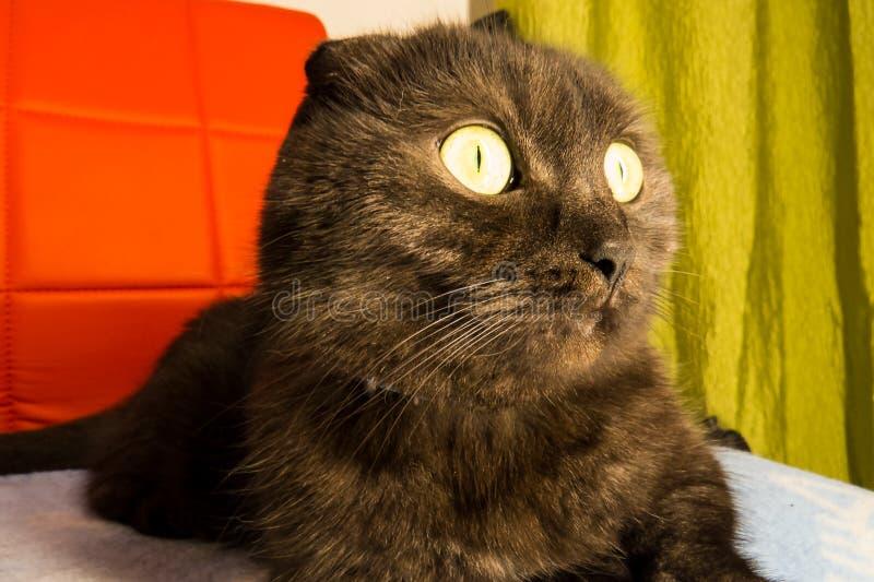 Munchkin Katze Archivbilder Abgabe Des Download 337
