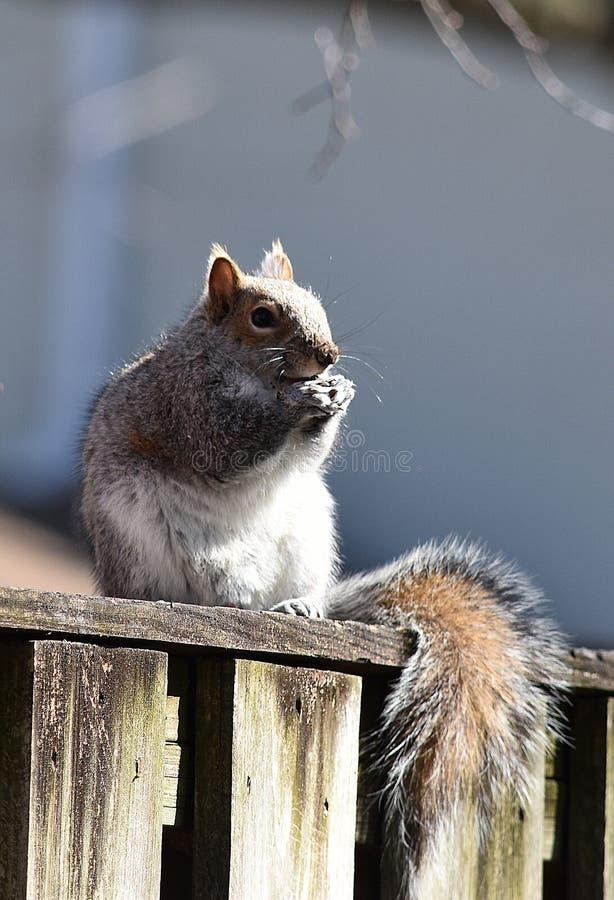 Munchy wiewiórka zdjęcie stock